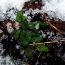 snow melissa