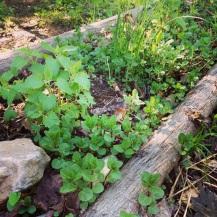Mentha peperita, Nepeta cataria, allium spp