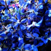 Borago offinicalis - borage - bourrache