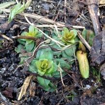 Saponaria officinalis - bouncing bet - saponaire