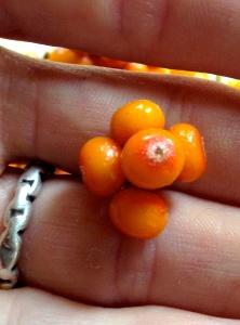 seaberry5